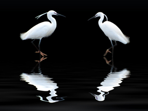 986868_31811356_White_Heron_royalty_free_stock_xchng_300