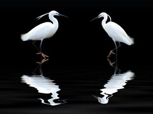 986868_31811356_White_Heron_royalty_free_stock_xchng_300