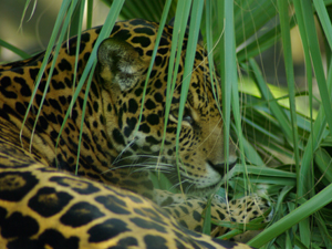 927597_21089568_hidden_jaguar_royalty_free_stock_xchng_300
