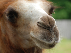 1138348_42605426_camels_nose_royalty_fee_stock_xchng_300