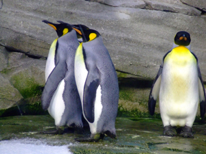 1030392_89867958_emperor_penguins_stock_xchng_royalty_free_300
