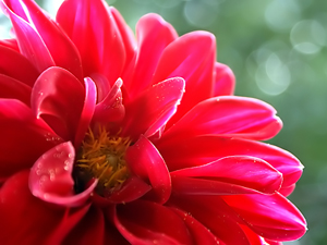 1266786_67513534_dahlia_stock_xchng_royalty_free_300