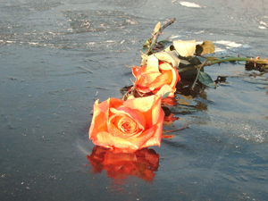 1131983_36295805_rose_on_ice_stock_xchng_royalty_free_300