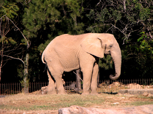 836077_40121333_elephant_stock_xchng_royalty_free_300