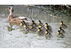 1442855_92548763_ducks_stock_xcnhg_royalty_free_Anita_Berghoef_photo_credit_300
