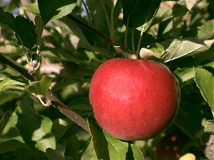 641574_72705584_red_apple_stock_xchng_royalty_free_300