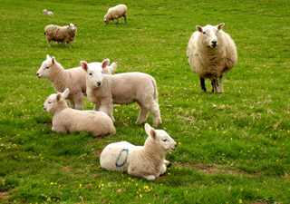 509023_85525128_sheep_stock_xchng_royalty_free_320