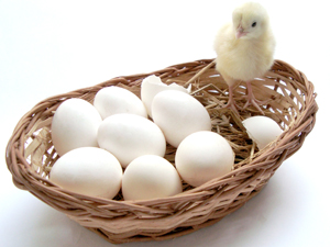 1094649_75728294_baby_chick_and_eggs_in_a_basket_stock_xchng_royalty_free_300