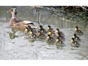 1442855_92548763_ducks_stock_xcnhg_royalty_free_Anita_Berghoef_photo_credit_300